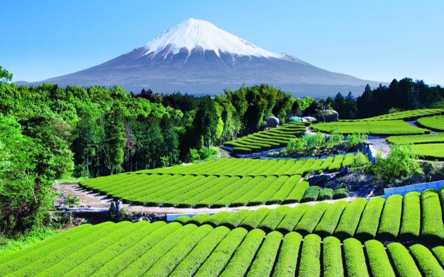 Tour de té en Japón: visita a plantaciones de té con el monte Fuji