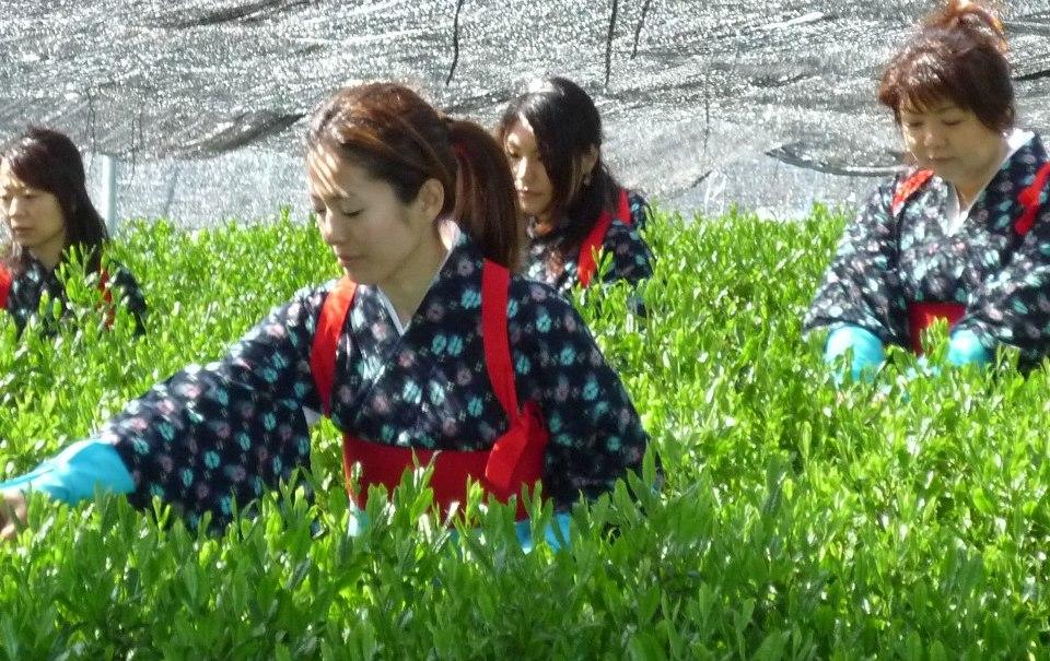 Cosecha manual de té en el Tour de té en Japón